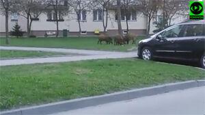Dziki na Bródnie: spacerowały przy bloku