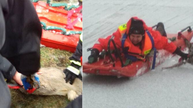 """Dwie sarny utknęły na lodzie. """"Był kruchy i załamywał się pod ratownikami"""""""