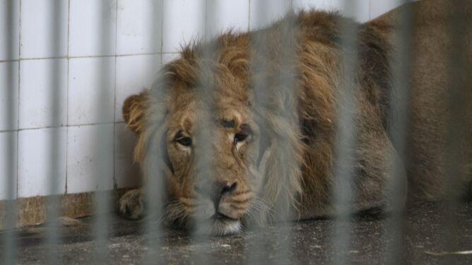 Dylemat etyczny w niemieckim zoo. 14-letni lew może zostać uśpiony