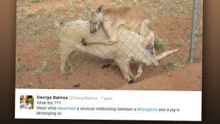 Historia wielkiej miłości świni i kangura. Nie potrafią żyć bez siebie