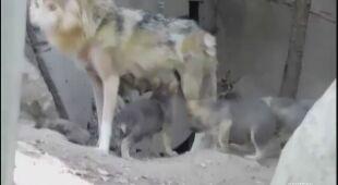 Młode wilki z meksykańskiego zoo